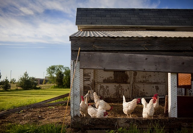 11 motivi per allevare galline nel giardino