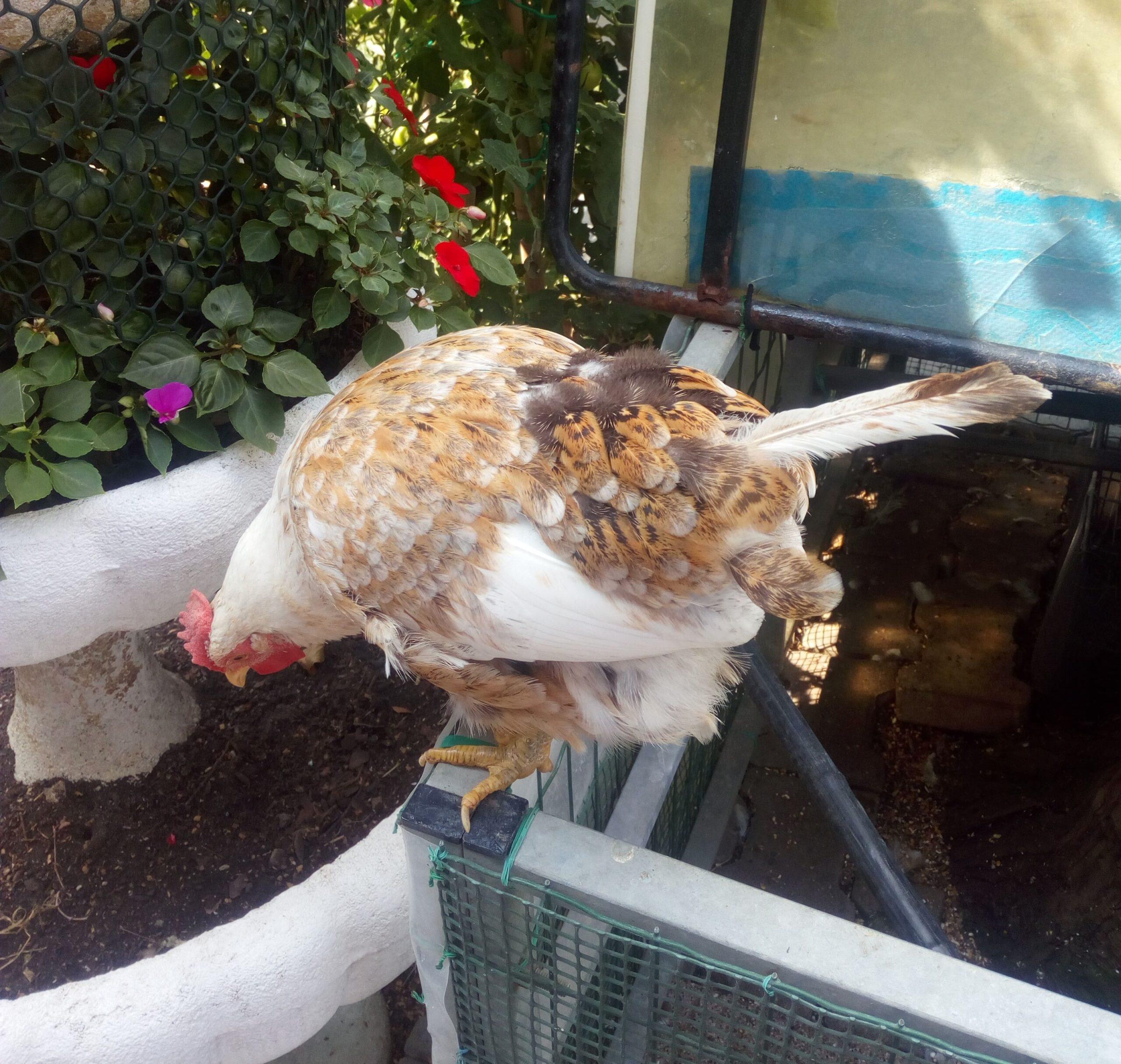 La muta delle galline