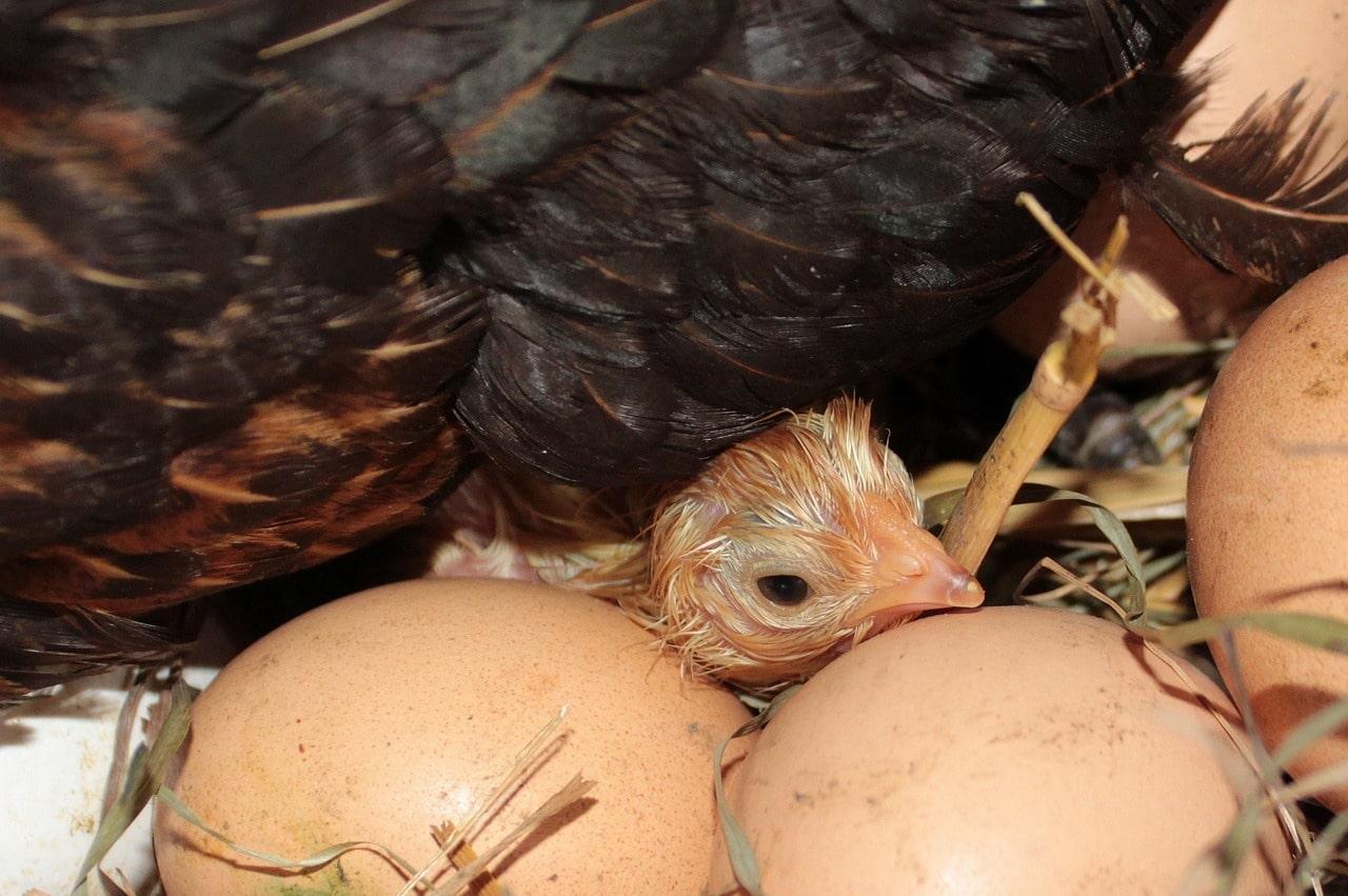 La nascita del pulcino nel pollaio di casa
