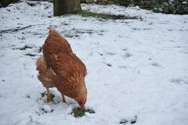 Aiutare le galline ad affrontare l'inverno