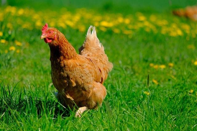 Il corpo della gallina