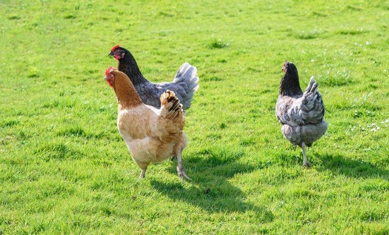 Le galline ovaiole