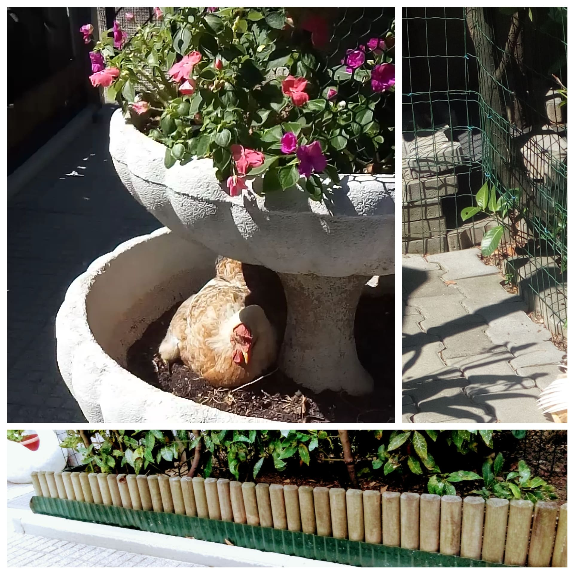 proteggere piante e fiori dalle galline