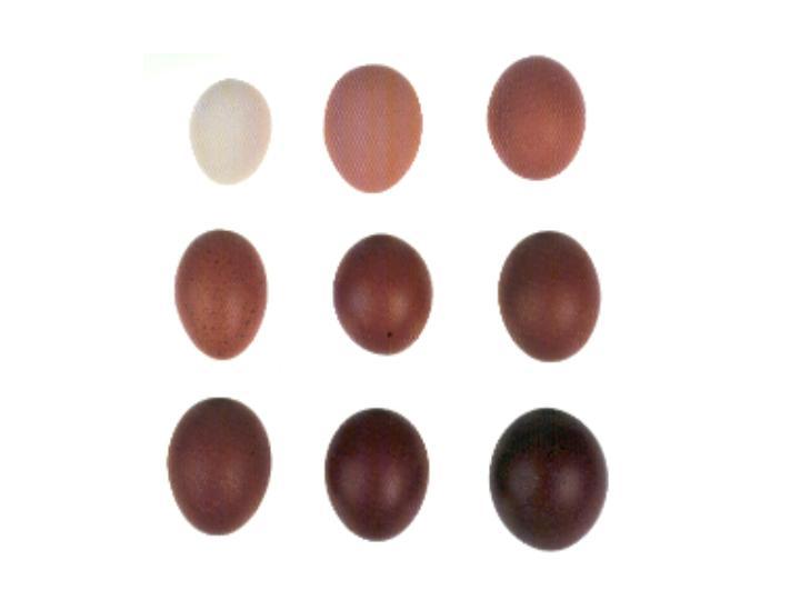 Scala colorimetrica del Club de France per valutare la colorazione delle uova