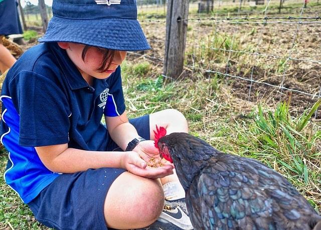 prendersi cura delle galline