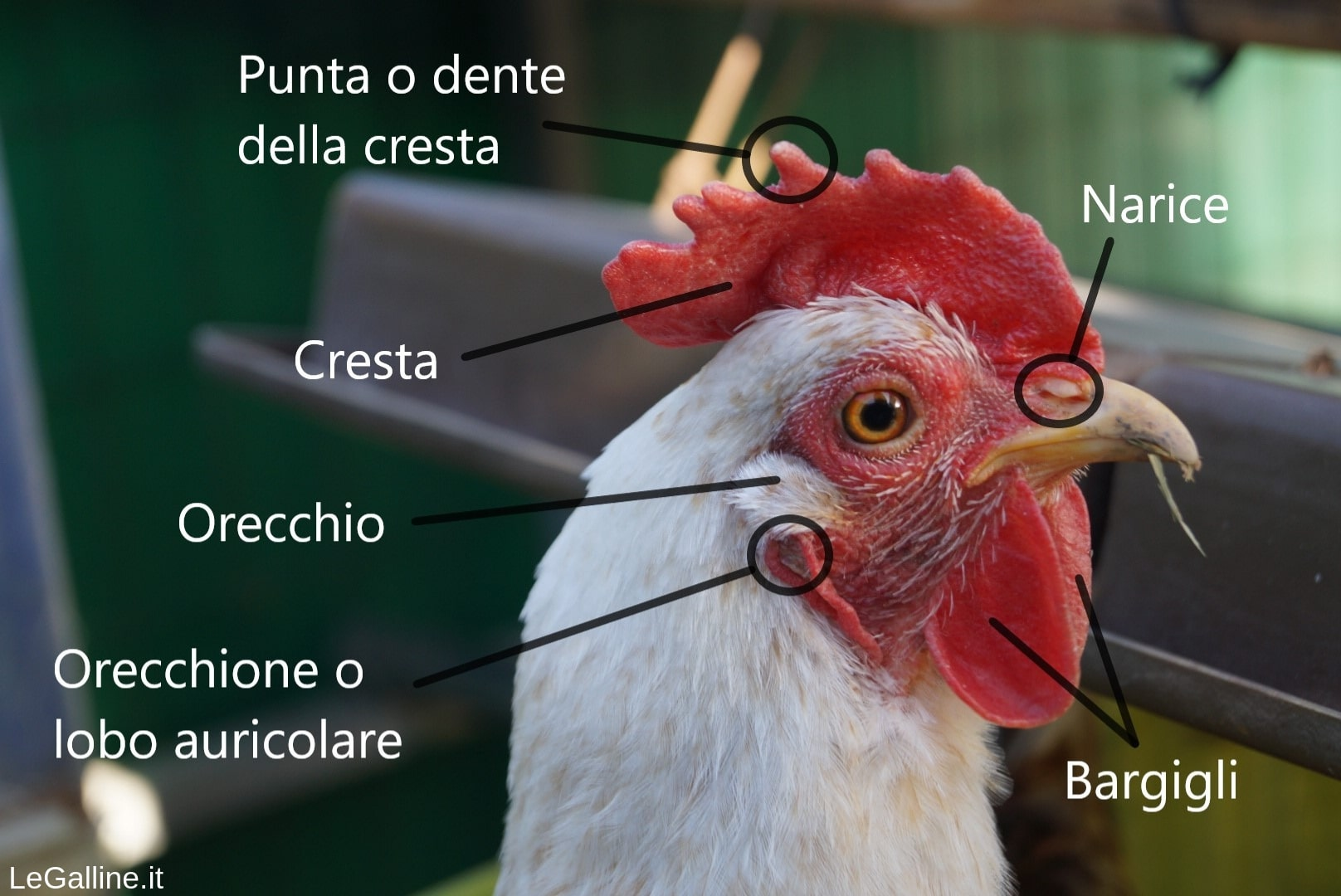nomi della testa di gallina