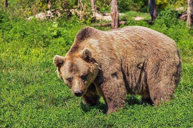 orso, predatore di galline