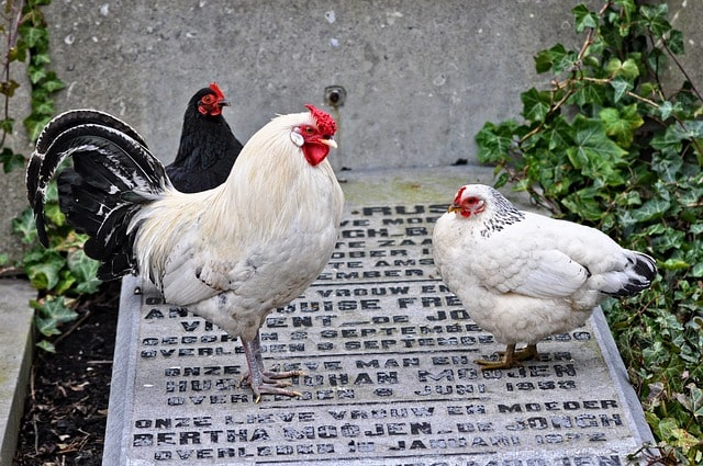 differenze tra il gallo e la gallina