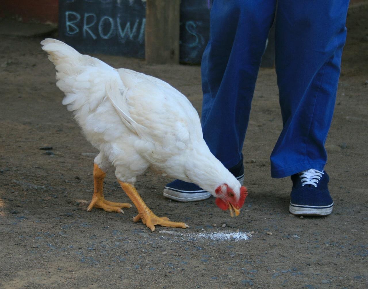 pollo che mangia