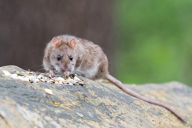 ratto, probabile predatore di uova e pulcini
