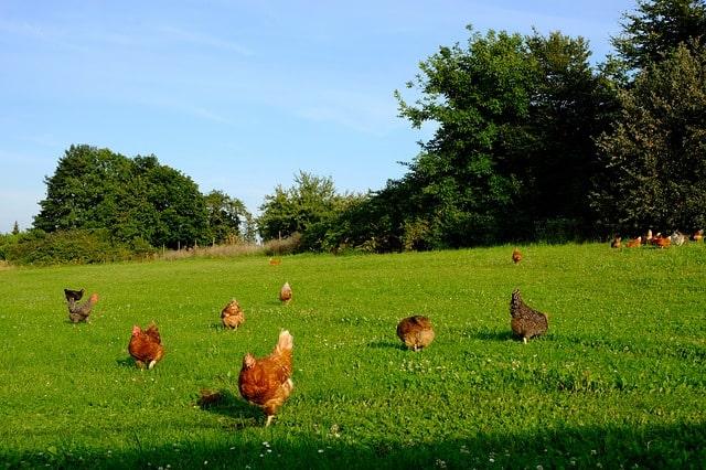 Gestire il pollaio in estate