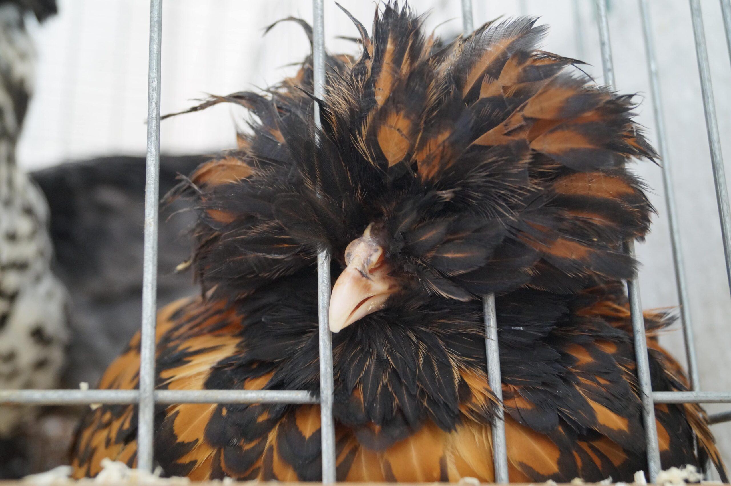 gallina razza ciuffata