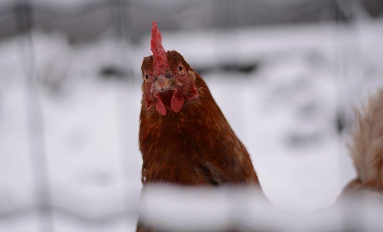 Come tenere calde le galline in inverno