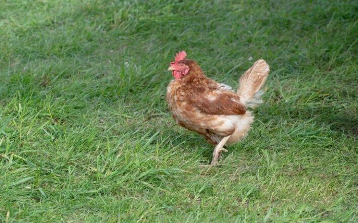 Bullismo tra galline