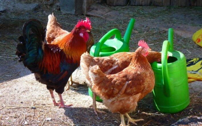 La noia: come eliminarla dal pollaio